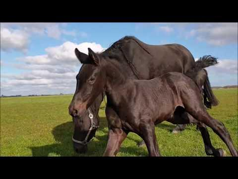 Don't kick Mathilde please Video!! Filly Marije for the first time in the field. Friesian horses.