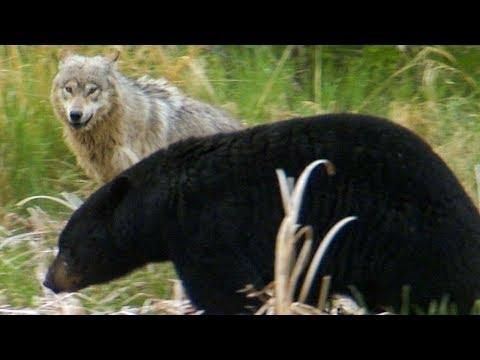 Wolf Protects Pups From a Bear | BBC Earth