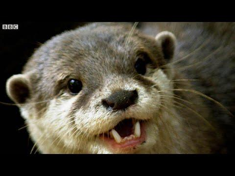 Otters Have a Favourite Rock They Love to Play With! | The Science Of Cute | BBC Earth