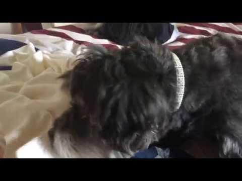 Dog Gently Tucks In Sleepy Baby