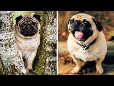 AWW SOO Cute and Funny Pug Puppies - Funniest Pug Ever #16 #Video