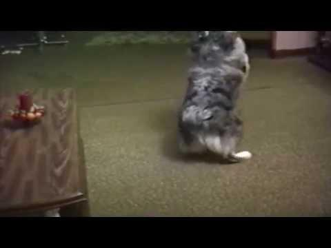 Crazy Dog Chases Ceiling Fan