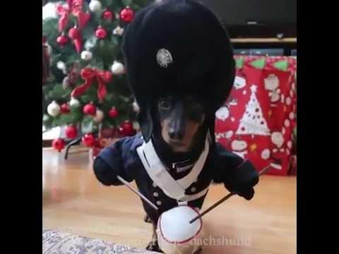 Mini Dachshund Shows Off His Little Drummer Boy Costume