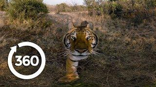 Experience the Elusive Tiger | Racing Extinction (360 Video)