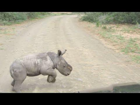 Baby Rhino Charges At Car - YOUR Daily Dose Of Internet
