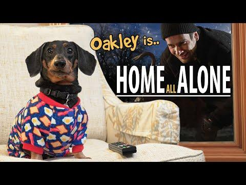 Oakley the Dachshund is.. HOME ALONE! #Video
