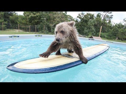 Cute Baby Bear Rides Surfboard