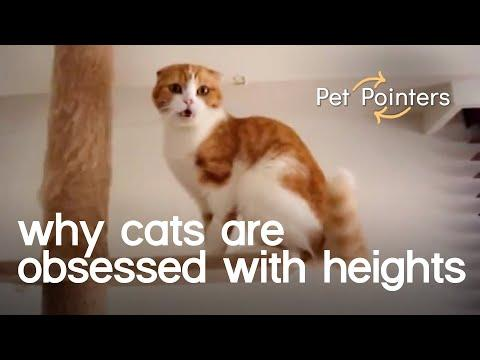 Why Cats are Obsessed with Heights | Pet Pointers Video