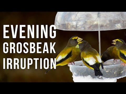 Evening Grosbeak Irruption Year Video