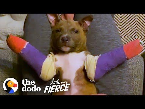 Tiny Pit Bull Puppy Gets Purple Casts To Help Him Run Video