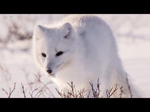 Sneaky Arctic Foxes and Other European Animals | Top 5 | BBC Earth