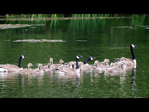 Canada Goose Nursery #Video