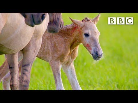 Adorable newborn foal takes first steps video