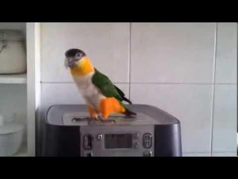 Dancing Parrot Does A Little Jig