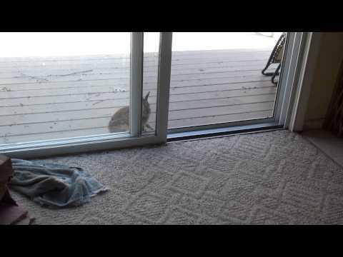 Wild Rabbit Wants In NOW!!!