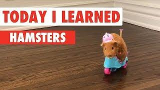 Today I Learned: Hamsters