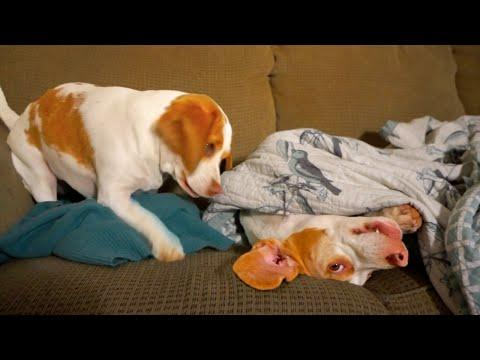 Dog's Sister Won't Let Him Sleep: Cute Dogs Maymo And Penny