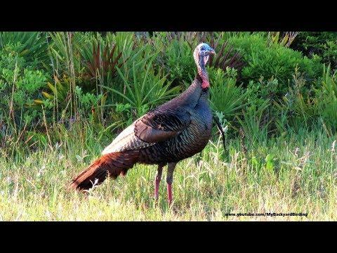 Wild Tom Turkey Gobble Gobble Calls with Beard