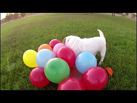 Balloon Popping Jack Russell ~ Happy Birthday Jesse!