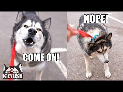 Husky TALKS To His Therapist Then REGRETS it! #Video