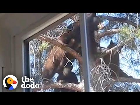 How Will These Bears Get Down?! Video.