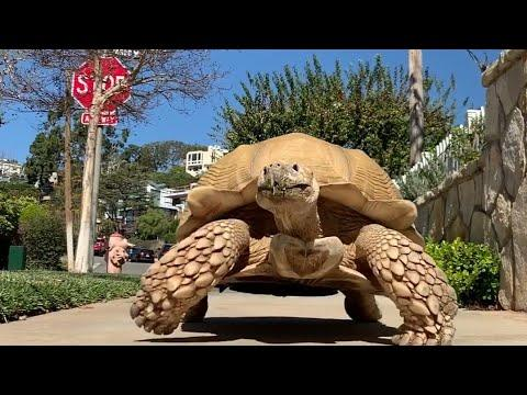 175 Pound Tortoise Is The King Of His Household #Video