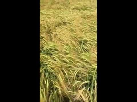 How My Dog Finds Me In A Field.