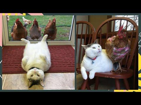 This Cat Has No Idea Why Chickens Are So Obsessed With Him #Video