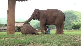 Faamai wants Lek to sing a lullaby to baby elephant, Thong Ae