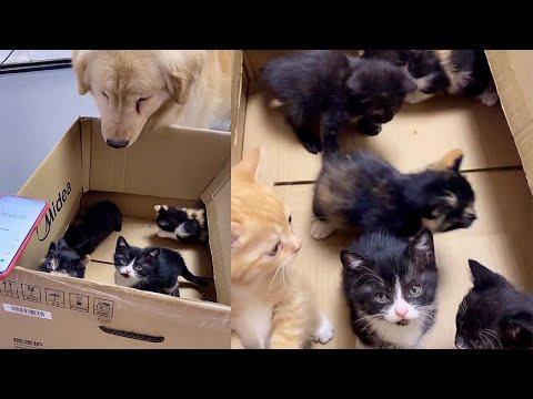 Sweet Golden Dog Meets Foster Kitties Video