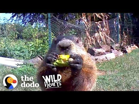 Guy Catches Adorable Groundhog Eating His Veggie Garden