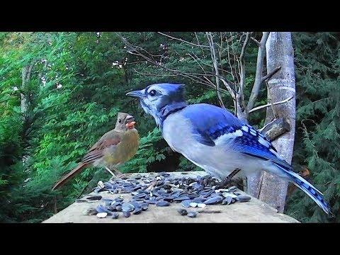 Blue Jay Uses Special Call to Intimidate Young Cardinal