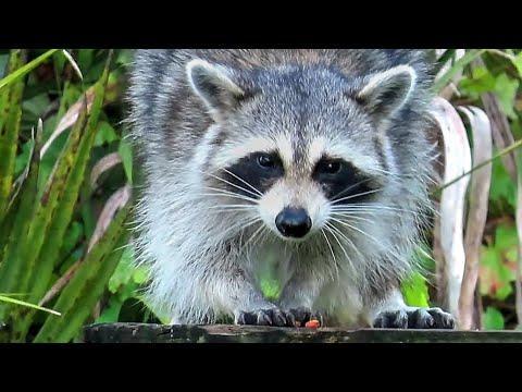 Raccoon Recon Mission