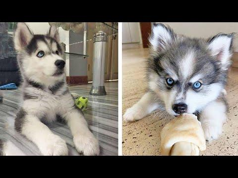 Funny And SOO Cute Husky Puppies Compilation #26 - Cutest Husky Puppy #Video
