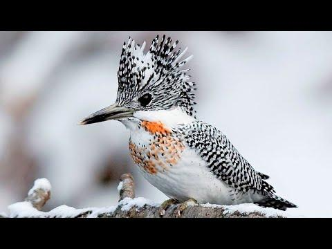 10 Most Beautiful Kingfishers in the World Video
