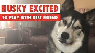 Husky Excited to Play With Best Friend