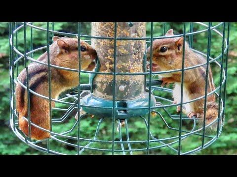 Chipmunk Gluttony Video