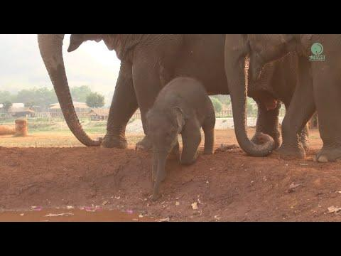 Baby Elephant Pyi Mai Hesitate To Get In Mud Pitch For The First Time #Video