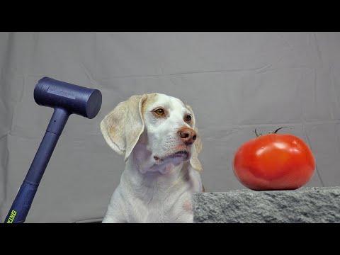 Dog vs Fruit Crush Experiment Video: Funny Dog Maymo Crushing Things w/Sledgehammer!