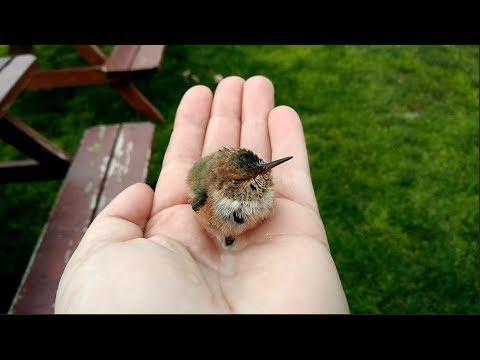 THE ADVENTURE OF PEEP VIDEO, THE BABY HUMMINGBIRD