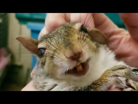 Squirrel smiles every time her rescuer scratches her #Video