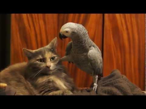 Parrot annoys cat video
