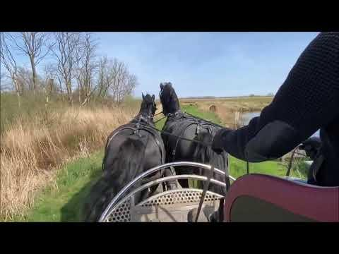Pair driving with Queen Uniek and Richtsje, through the nature reserve Video. Friesian Horses.