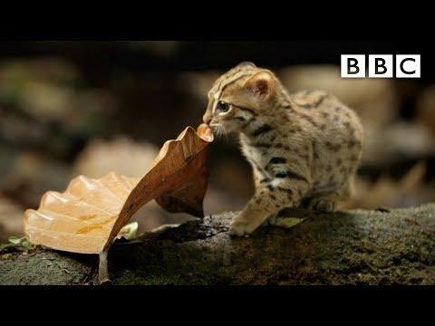 World's smallest cat video - BBC