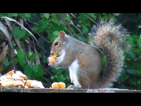 Squirrel Eating Loquat Fruit