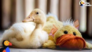 Rescue Duck Loves His Stuffed Duck | The Dodo