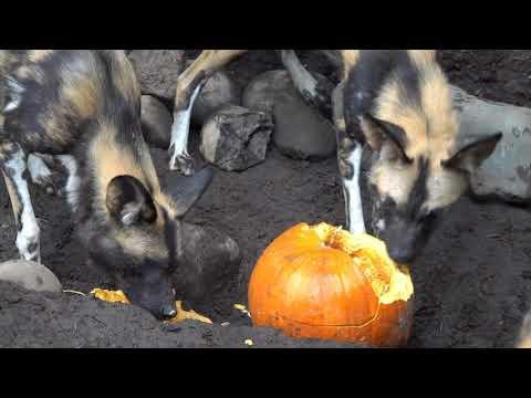 Animals Adorably Devour Pumpkins