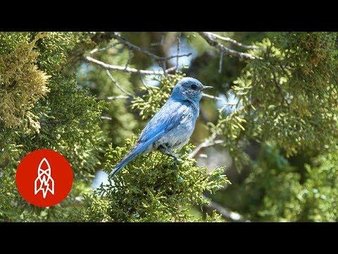 The Birdman Has Built Homes for Over 40,000 Bluebirds Video