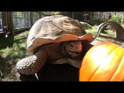 Pumpkins vs. Oregon Zoo Animals