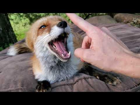 Morning fox talks ~ By Finnegan Fox and DixieDo fox #Video